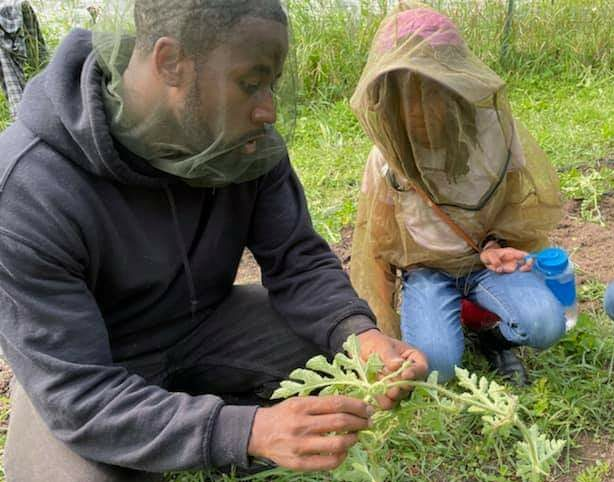 A man shows a child how to harvest vegetables